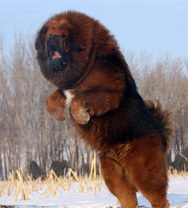 6-Foto-bolshogo-tibetskogo-mastifa