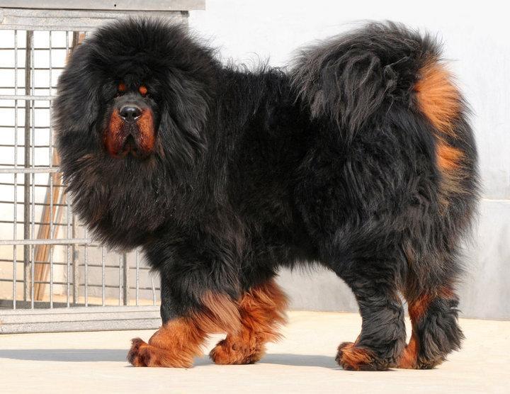 tiberskij-mastiff