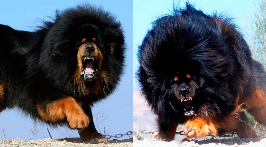 tibetian-mastiff-angry-1024x565