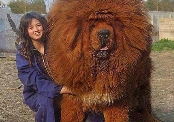 tibetskij_mastif_samaya_dorogaya_sobaka_na_zemle___kaifzona_ru