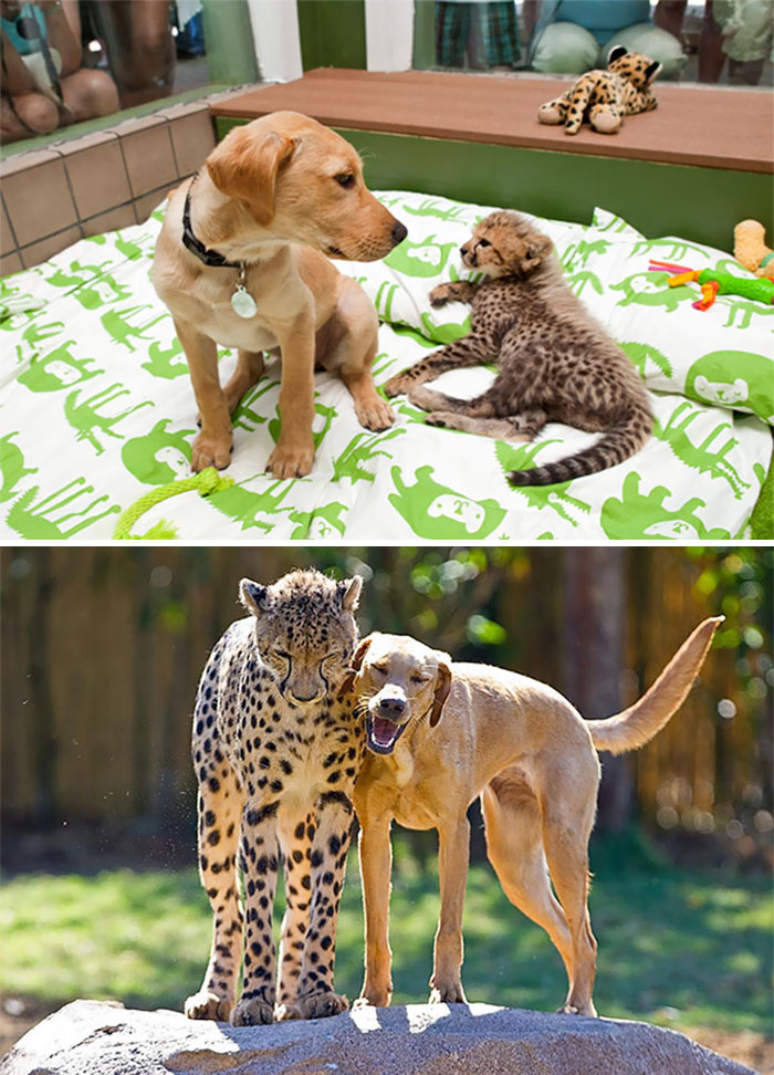 animal-friends-growing-up-together-11