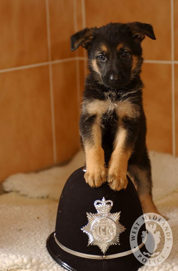 WMPolice Puppy  Xante  (7weeks old)  which are being cared for by Guide dogs for the blind...PC John Dolman with Sarah Hicks Guide dogs for the blind *** Local Caption *** PC John Dolman PC John Dolman Bill McNamara rm 702 crime support  Lh Aubrey and Cathrine  Meades 17 Signal Hays rd Warmley