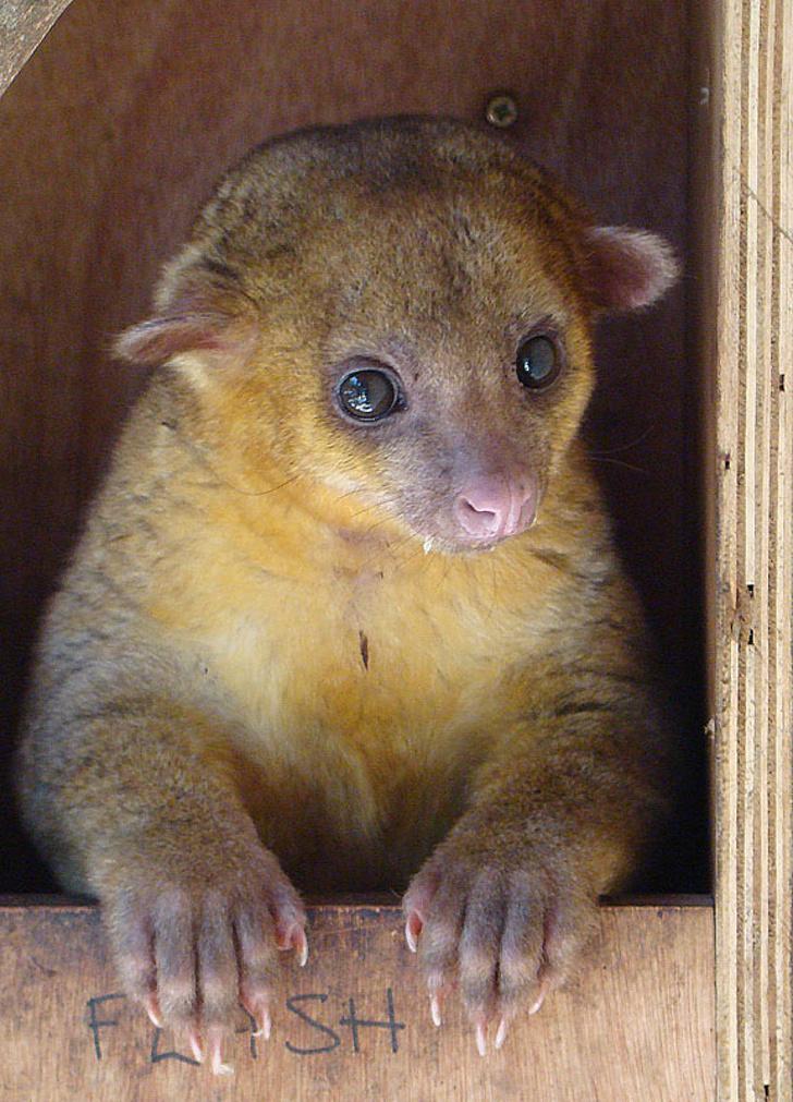 kinkajou, cusumbi Potos flavus Paradise animal rehabilitation center near Volcancito DG.Pan